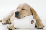 Yellow Labrador Puppy Asleep on Toilet Roll, 9 Weeks Fotografisk tryk