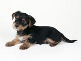 Cross Breed Puppy, Yorkshire Terrier X Jack Fotoprint
