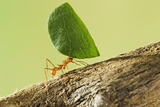 Leaf Cutter Ant with Leaf Photographic Print