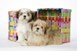Shih Tzu and Lhasa Apso (Right) Puppies Photographic Print
