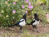 Magpie Youngsters Interacting in Garden Photographic Print