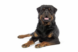 Rottweiler Lying Down Photographic Print