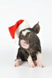 Berkshire Piglet Wearing Christmas Hat Fotodruck