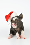 Berkshire Piglet Wearing Christmas Hat Photographic Print