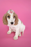 Cocker Spaniel Puppy with 'Kiss' on Head Photographic Print