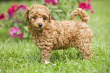 Abricot Poodle Puppy in Garden with Flowers Photographic Print