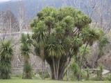 New Zealand Cabbage Tree Photographic Print