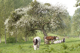 Cattle, Normandy Cows under Tree in Blossom Photographic Print