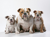 Bulldog, Female with Two Puppies, Sitting, Studio Shot Photographic Print