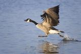 Canada Goose Taking Flight Photographic Print