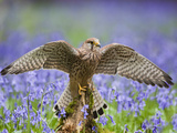 Kestrel Female Landing on Stump in Bluebell Wood Photographic Print