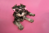 Schnauzer Puppy Wearing Pink Glasses Photographic Print