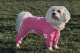 Bichon Maltaise Wearing Jogging Photographic Print