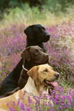 Labrador Dogs, Yellow Chocolate and Black Photographic Print