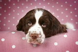 Springer Spaniel (Approx 10 Weeks Old) Photographic Print