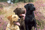 Yellow, Chocolate and Black Labradors Photographic Print