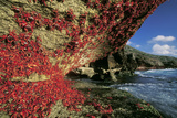 Red Crab Climbing Cliff, after Spawning Photographic Print