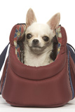 Short-Haired Chihuahua in Carrier Photographic Print