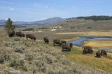 Bison Herd Grazing with Yellowstone River in Background Photographic Print