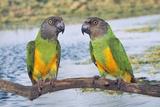 Senegal Parrot Two Fotografisk tryk
