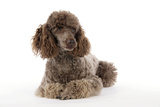Brown Miniature Poodle Lying Down Photographic Print