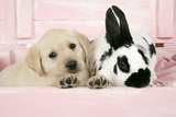Labrador Retriever Puppy and English Rabbit Photographic Print