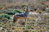 Black-Backed Jackal Howling Photographic Print by Alan J. S. Weaving