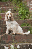 Cocker Spaniel (Orange Roan) Sitting on Steps Photographic Print