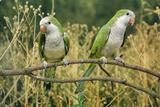 Monk Parakeet Photographie