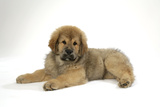 Tibetan Mastiff Puppy 10 Wks Old Photographic Print