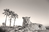 Leopard Male Rests on Termite Mound Photographic Print