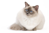 Ragdoll Blue Colourpoint Photographic Print