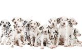 Dalmatian Dogs Fotografisk tryk