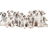 Dalmatian Dogs Photographic Print