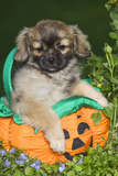Tibetan Spaniel Puppies in Garden in Pumpkin Photographic Print
