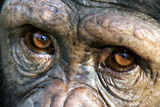 Chimpanzee, Close-Up of Eyes Photographic Print