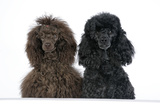 Brown Poodle and Black Poodle with Paws over Ledge Photographic Print