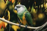 Senegal Parrot Fotografisk tryk
