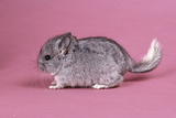 Baby Chinchilla Four Weeks Photographic Print