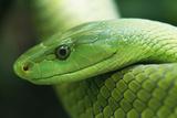 Western Green Mamba Snake Photographic Print