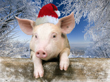 Piglet Looking over Fence Wearing Christmas Fotodruck