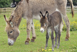 Donkey Adult and 5 Days Old Baby Photographic Print