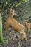 Golden Guernsey Goat Stretching Up to Eat Leaves Photographic Print