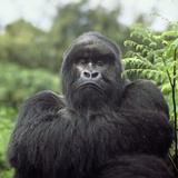 Ape: Mountain Gorilla Silverback Male Fotografisk tryk af Adrian Warren