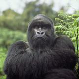 Ape: Mountain Gorilla Silverback Male Photographic Print by Adrian Warren