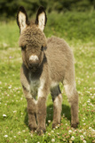 Donkey Foal in Meadow Photographic Print