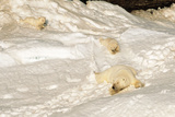 Polar Bear Mother with Cubs Sliding from Winter Den Photographic Print