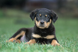 Rottweiler Puppy Lying Down in Grass Photographic Print