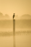 Grey Heron on Post in Misty Dawn Photographic Print