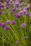Chives Photographic Print
